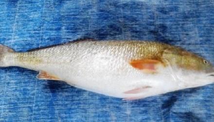 Đêm 28/9, ngư dân Ngô Văn Đấu (51 tuổi, ở tổ 44, khu vực 9, phường Hải Cảng, TP Quy Nhơn, Bình Định) trong lúc hành nghề đánh bắt hải sản trên vùng biển Sông Cầu (tỉnh Phú Yên) đã bắt được một con cá lạ nặng 9,5 kg, dài khoảng 1 m, toàn thân cá có màu vàn