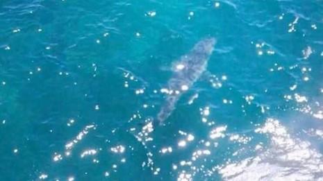 Phát hiện con cá mập khổng lồ giống trong phim của Hollywood - ảnh 1