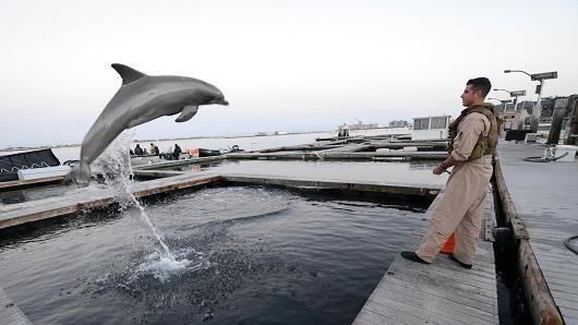 Cá heo được huấn luyện bảo vệ căn cứ Kitsap-Bangor. Ảnh: US NAVY
