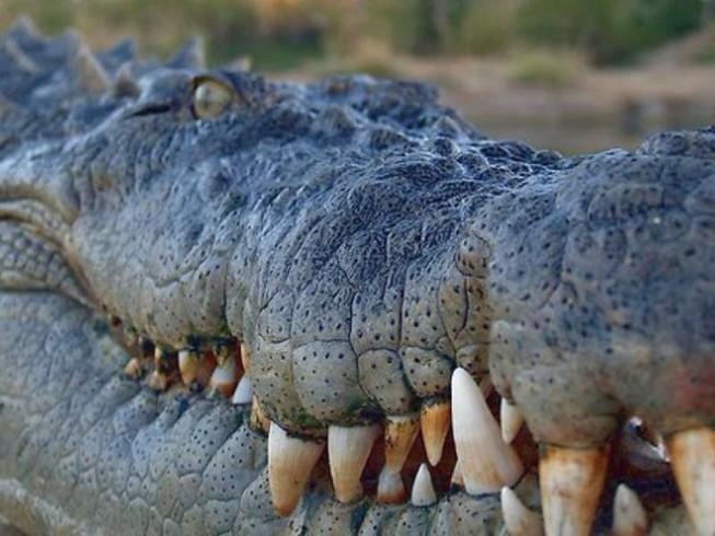 78 cá sấu tẩu thoát, thành phố Trung Quốc náo loạn
