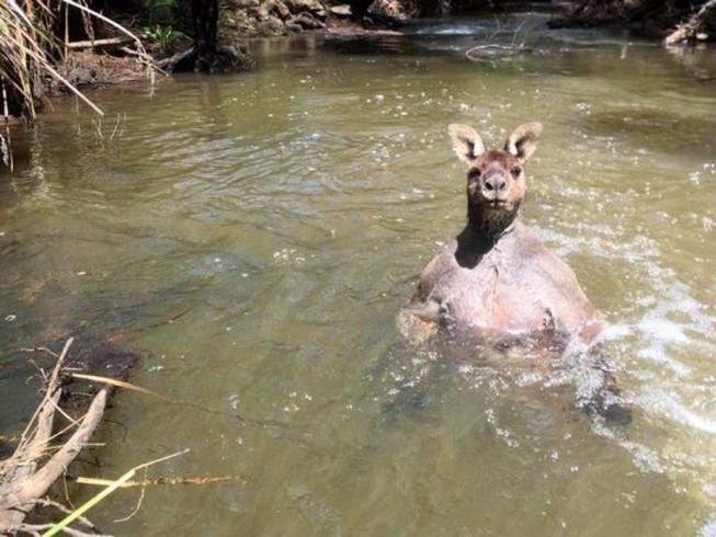 Kangaroo vạm vỡ đến lực sĩ cũng 'chào thua'