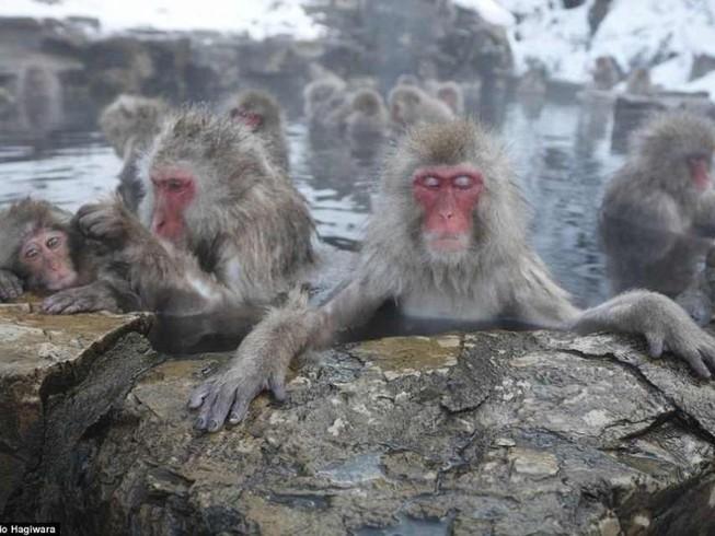 Điều chưa biết về khỉ Nhật Bản thích tắm suối nước nóng