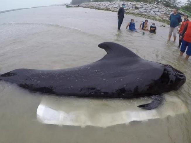 Cá voi chết ở bờ biển Thái Lan vì nuốt hơn 80 chiếc túi nylon
