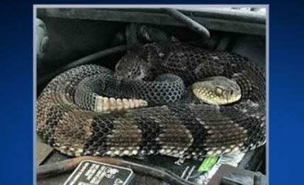 Hoảng hồn phát hiện rắn cực độc trong động cơ xe