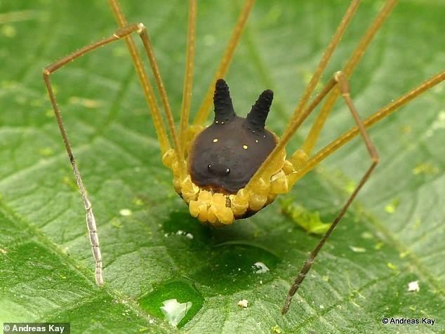 Phát hiện loài nhện đầu chó kỳ dị