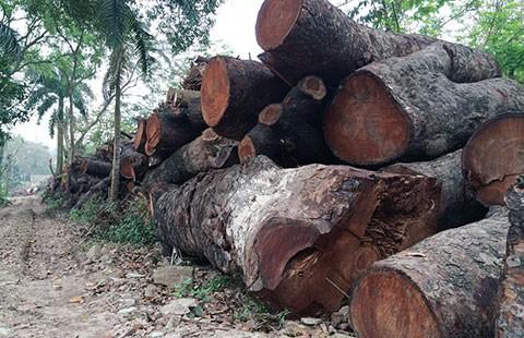 Đề nghị khởi tố vụ chặt cây xanh ở Hà Nội