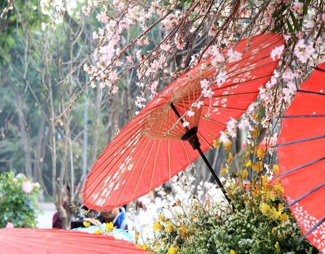 12.000 cành anh đào đua sắc bên vườn hoa Lý Thái Tổ