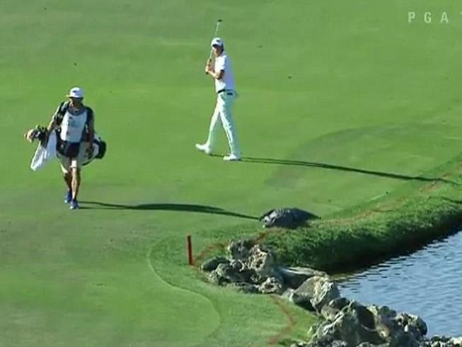 Nhầm tưởng cá sấu là… tảng đá, golf thủ hoảng hồn
