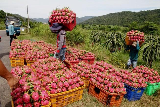 Thanh long Việt Nam được xuất khẩu nhiều sang Trung Quốc- Ảnh minh họa
