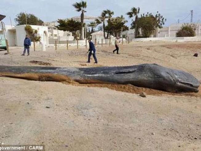 Cá nhà táng khổng lồ chết vì ăn quá nhiều rác
