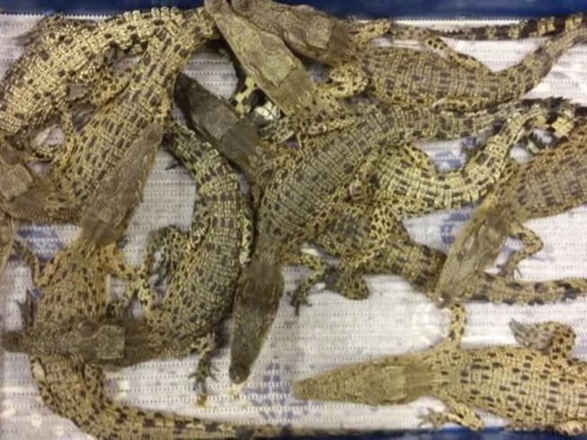 Kinh hoàng phát hiện 50 con cá sấu tại sân bay