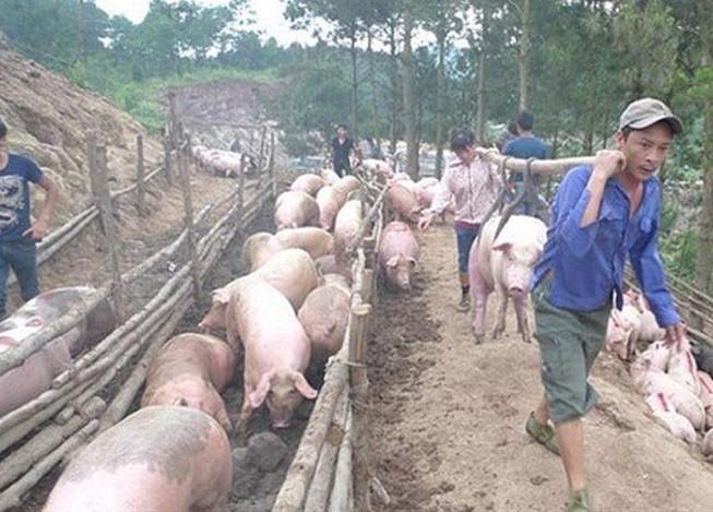 Phó Thủ tướng chỉ đạo ngăn chặn buôn lậu lợn