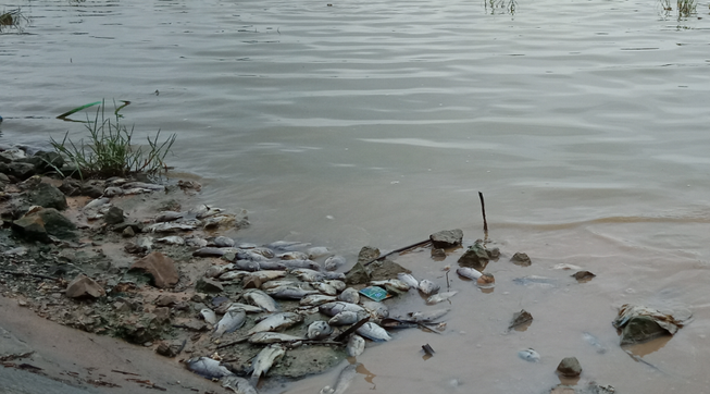 Cá chết nổi trắng hồ mới nạo vét  