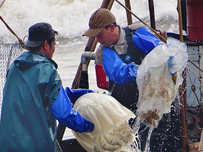 Ngư dân trúng đậm mùa sứa