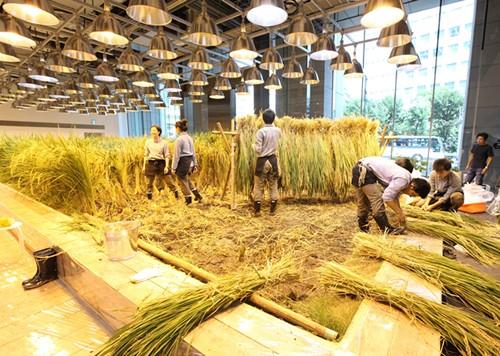 Nhật Bản thiết kế ruộng lúa ngay trong tòa nhà 9 tầng