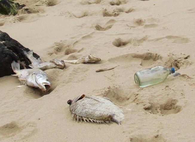 Cá chết hàng loạt dạt vào bờ biển 4 tỉnh miền Trung