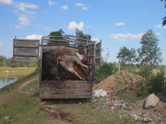 Chở 5 con bò chết đi tiêu thụ, bị phạt 4 triệu đồng