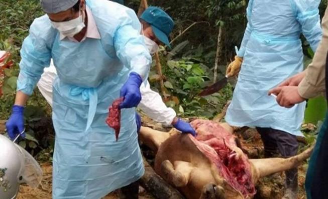 Bàng hoàng nhìn 8 con bò nằm chết bí ẩn trong rừng