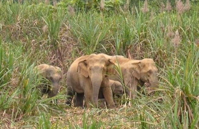 6 voi rừng kéo về quậy phá, dân lo lắng