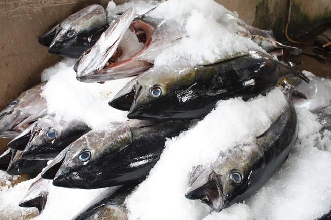 Điều xe tải để ăn trộm cá ngừ đại dương