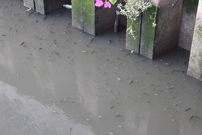 Cá thoi thóp nổi đầy trên kênh Nhiêu Lộc