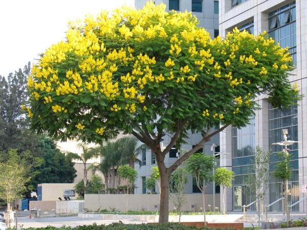 Dời cây Giáng Hương từ đường Mai Chí Thọ về phố đi bộ Nguyễn Huệ?