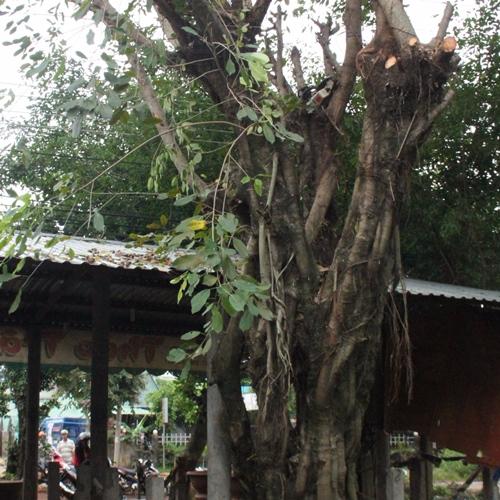 Cưa cây dưới trời mưa, một người bị điện giật tử vong
