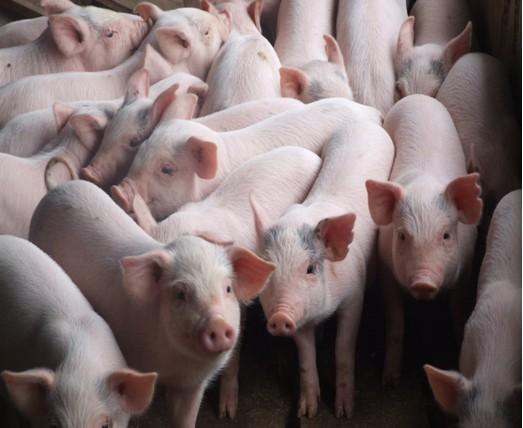 Phát hiện 4 trang trại nuôi heo bằng chất cấm
