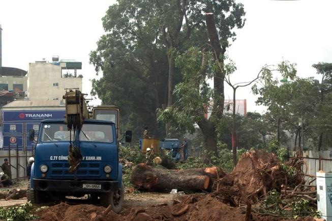 Đốn hạ cây xanh đảm bảo thi công cầu vượt