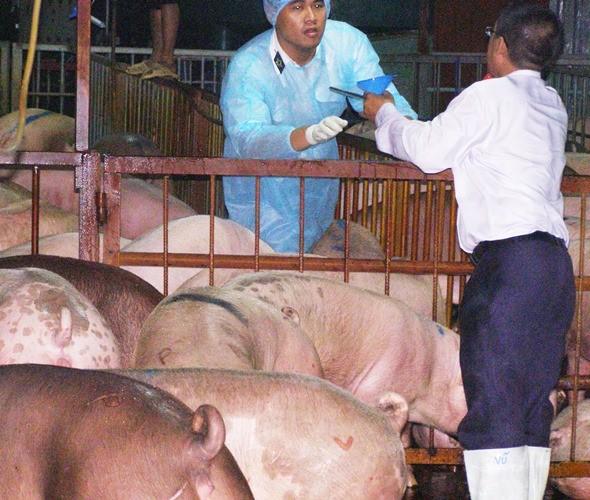 Buộc cam kết không sử dụng chất cấm trong chăn nuôi