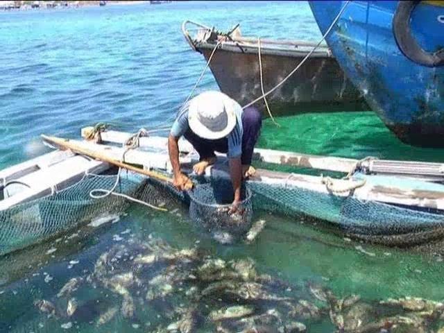 Cá nuôi ở đảo Phú Quý chết là do thiếu ôxy