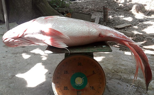 Bắt được cá sủ vàng giá bạc tỉ trên sông Hậu