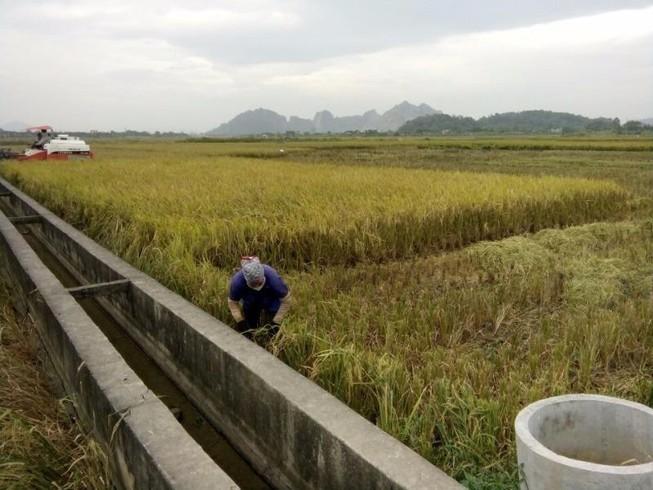 Nông dân Hải Phòng gặt lúa chạy bão số 7