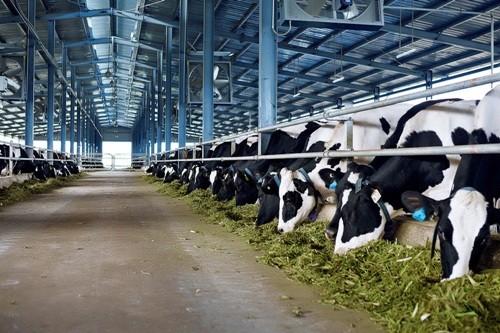 Đại gia sữa với trang trại bò trải khắp Việt Nam
