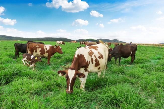 Chuẩn bị khánh thành trang trại bò sữa chuẩn Organic