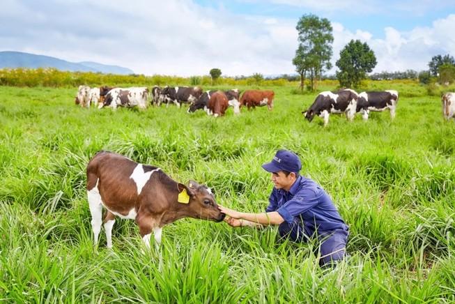 Cấp chứng nhận cho trang trại bò organic Việt Nam