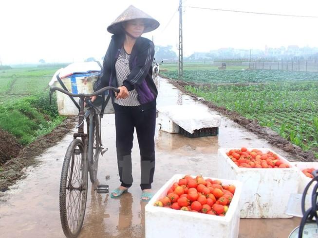 Cà chua chín thối ngoài đồng, đổ cho... heo ăn