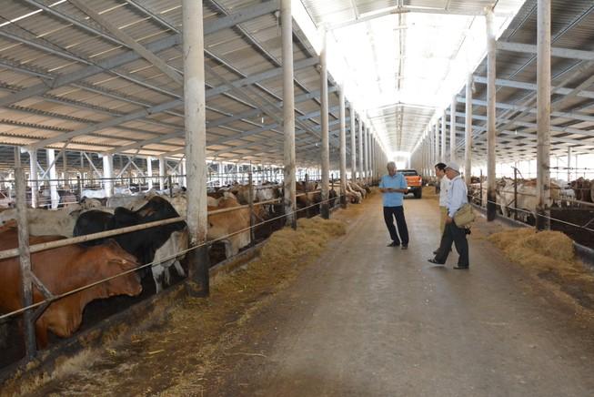Giám đốc kiếm triệu đô nhờ vỗ béo bò Úc