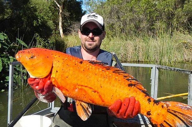 Choáng với cá vàng khổng lồ đột biến