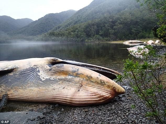 Hoảng khi phát hiện hàng chục xác cá voi khủng đang phân hủy