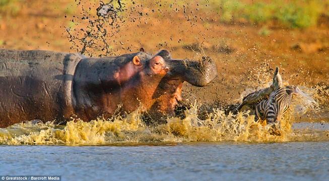 Hà Mã tấn công chú cá sấu 'tham ăn'