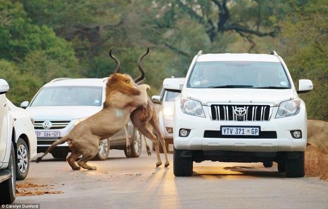 Màn săn mồi kinh hoàng của sư tử trên đường xe chạy
