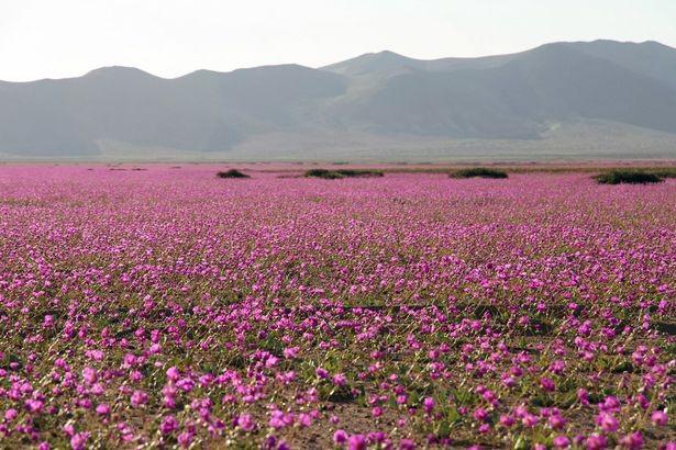 Sa mạc khô cằn bỗng chốc thành 'rừng hoa' đẹp ngỡ ngàng