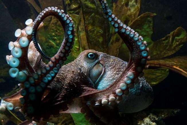 Bạch tuộc Inky 'đào thoát' khỏi bể cá New Zealand