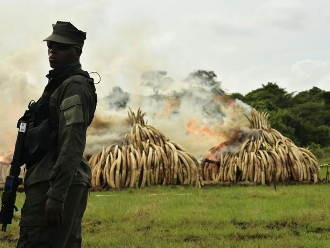 Thiêu hủy lượng ngà voi 'khủng' nhất từ trước đến nay: 105 tấn 