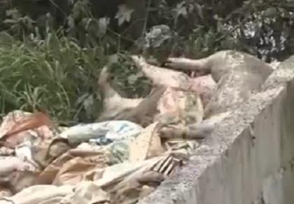 Hàng trăm xác heo chết bị vứt ra đầu nguồn sông Sài Gòn