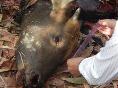 Bắt khẩn cấp hai nghi can sát hại bò tót ở Đồng Nai
