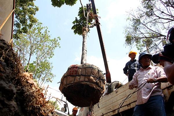 Bứng dưỡng 14 cây sọ khỉ trên đường Tôn Đức Thắng