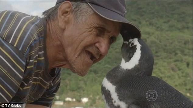 Chú chim cánh cụt bơi 8.000 km mỗi năm về thăm ân nhân