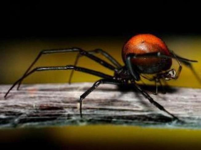 5 tháng, 2 lần bị nhện độc cắn 'chỗ ấy'